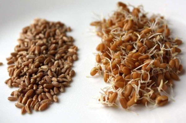 О чём молчат врачи про прощенную пшеницу: польза и вред злака для организма